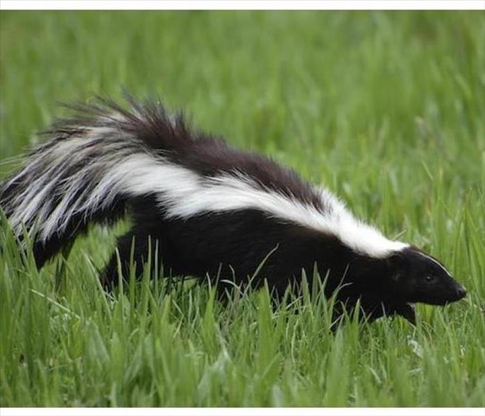 Cleaning Skunked
